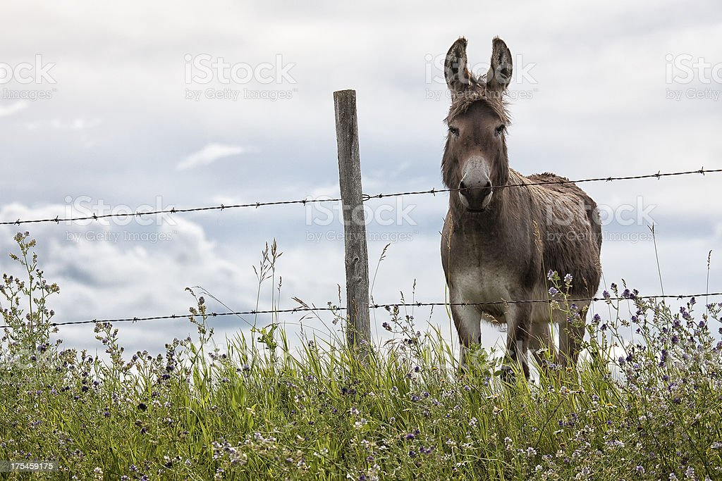 Donkey standing at a fence royalty-free stock photo