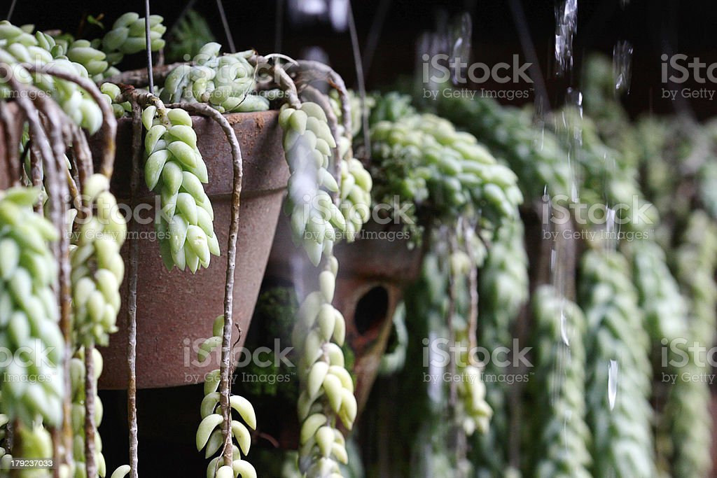 Donkey Tails flower in the rain stock photo
