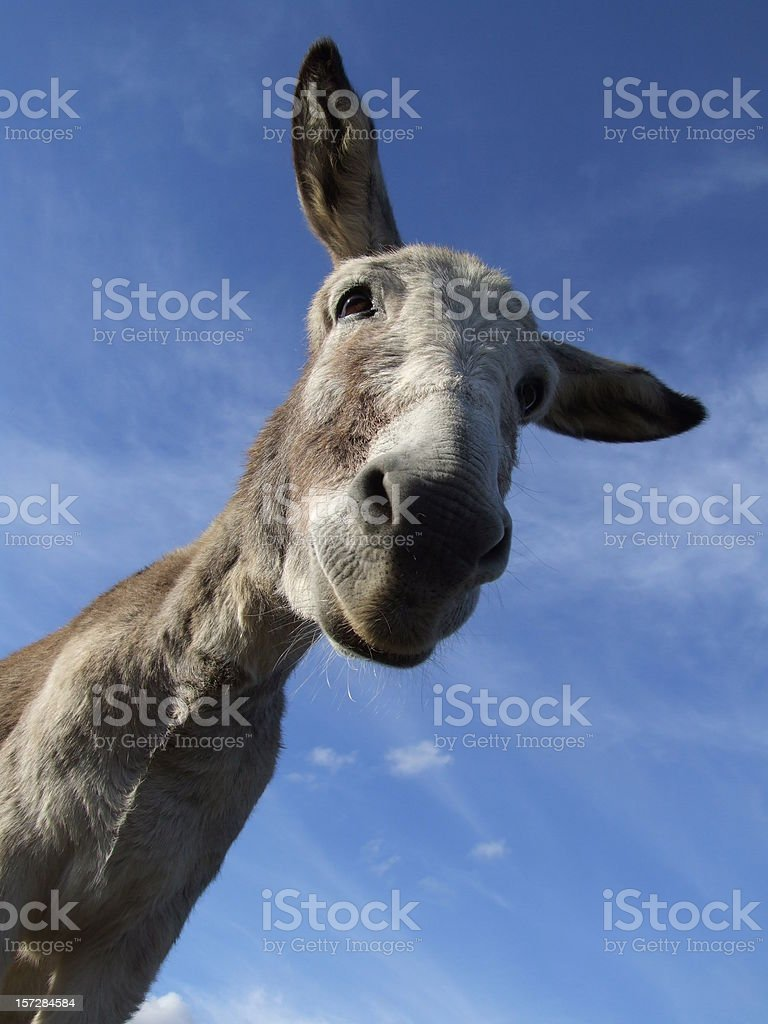 Donkey to look up too royalty-free stock photo