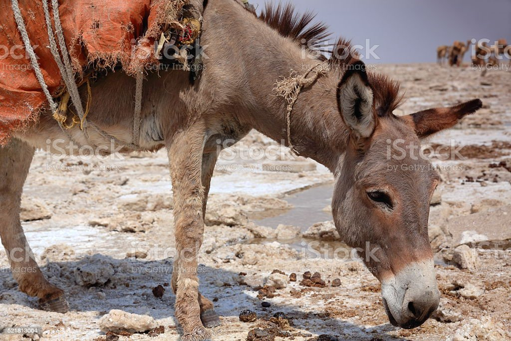 Donkey waiting to be loaded with amole-salt slabs. Danakil-Ethiopia. 0359 stock photo