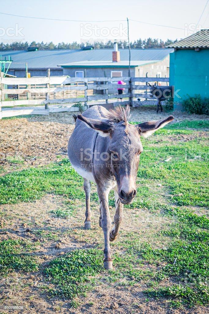 Donkey walks at animal farm countryside stock photo