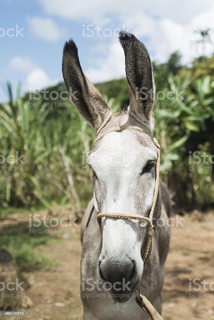 Donkey with straight ears royalty-free stock photo