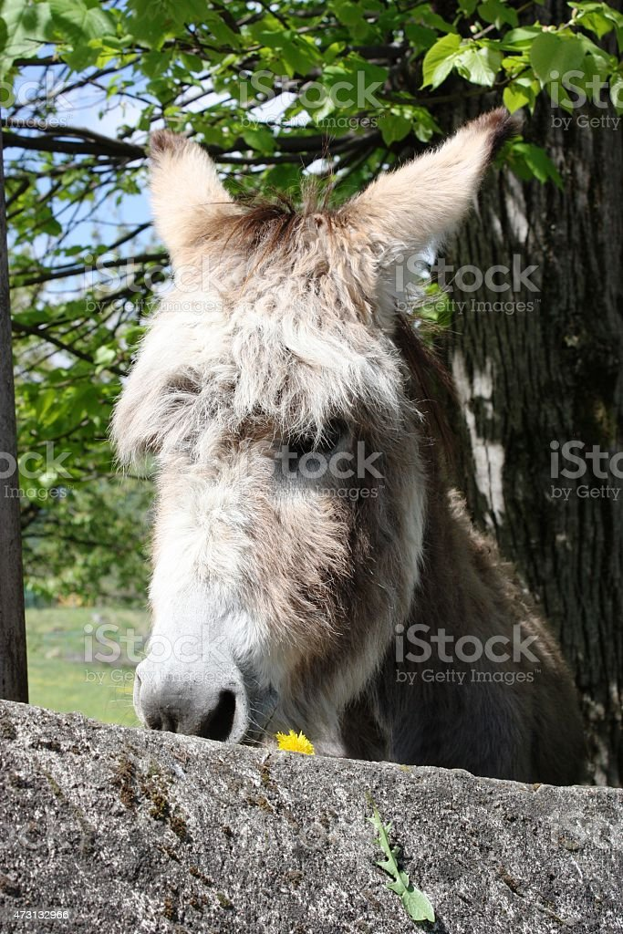 Donkey with yellow flower stock photo
