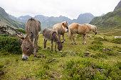 Donkeys And Horses At Silvretta High Alpine Road Vorarlberg Austria