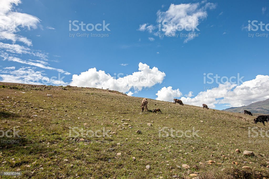 Donkeys and pigs grazing in the Andes countryside above Huaraz stock photo