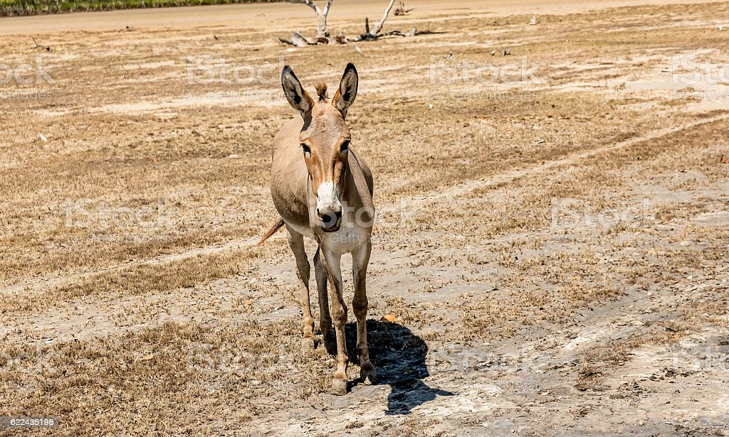 Donkeys being used for transportation of goods stock photo