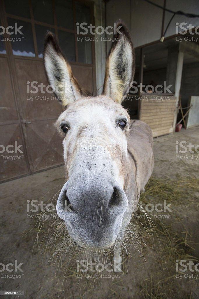 Donkey's close up royalty-free stock photo