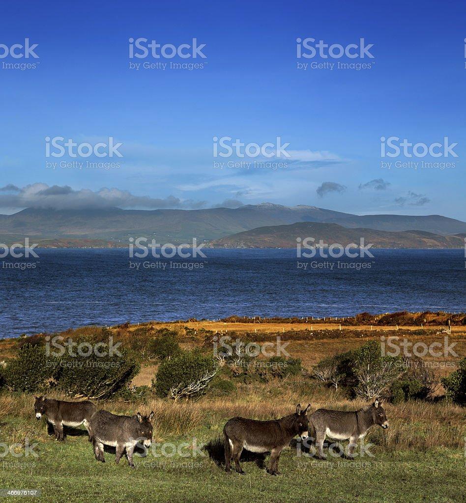 Donkeys graze on a field in County Kerry, Ireland royalty-free stock photo