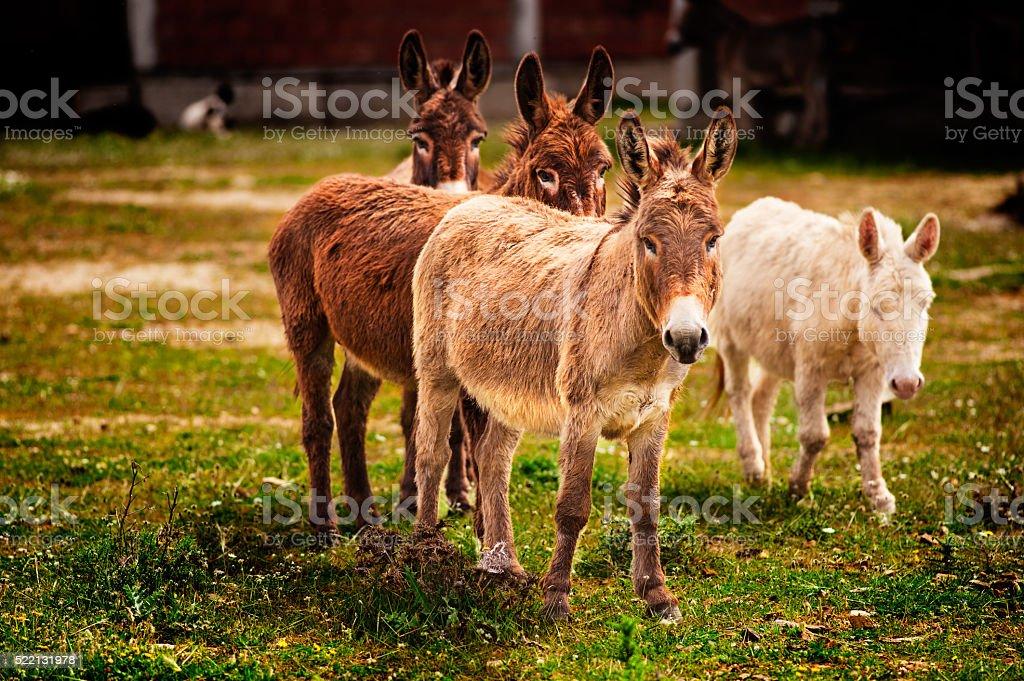 Donkeys grazing stock photo