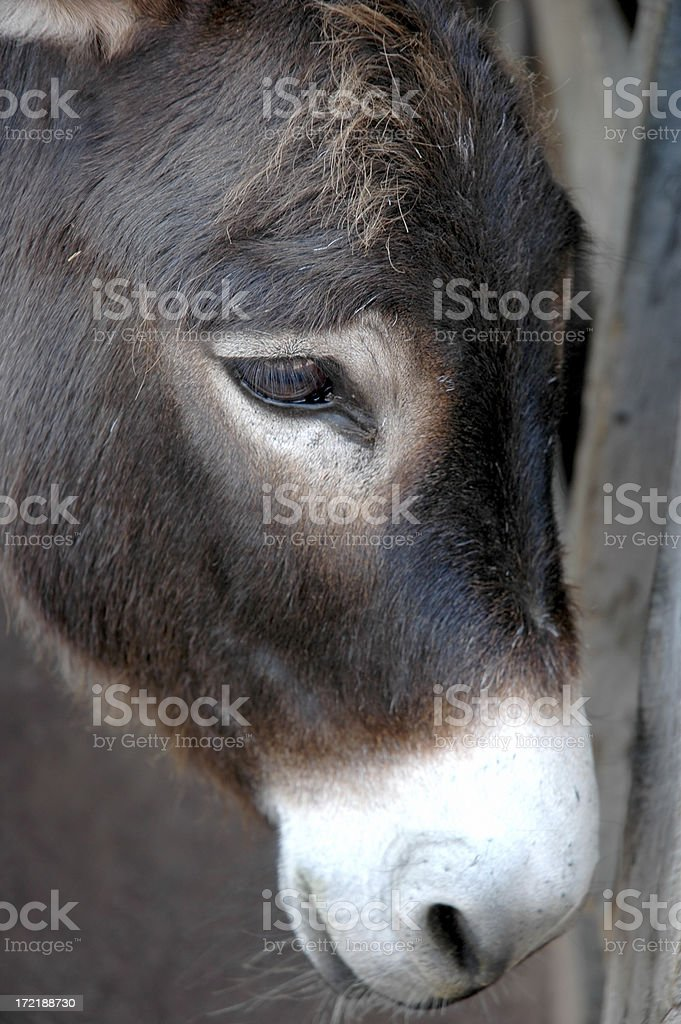 Donkey's Head royalty-free stock photo