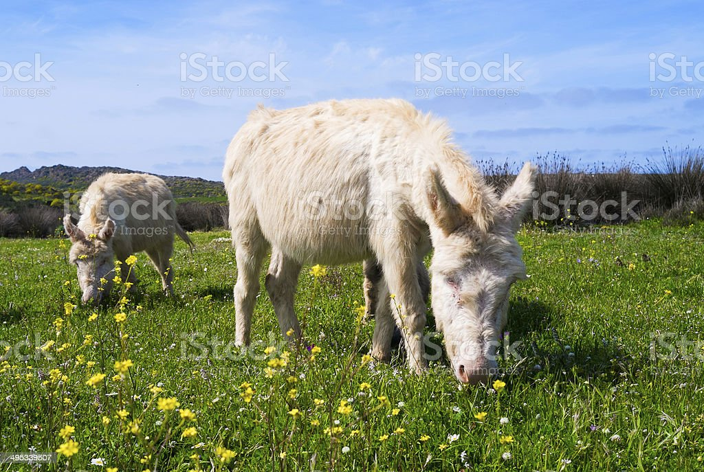 Donkeys in Asinara island, Sardinia, Italy stock photo