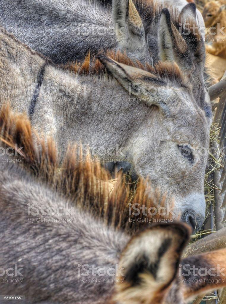Donkey's in Bonaire stock photo