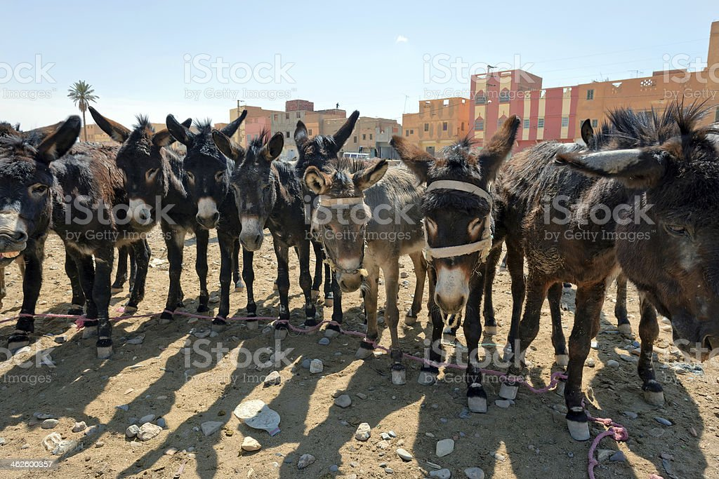 Donkeys in Rissani, Eastern Morocco, Africa royalty-free stock photo