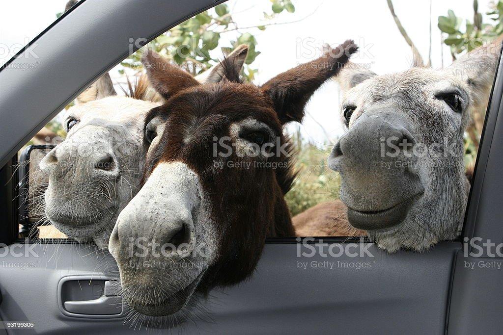 donkeys in the car stock photo