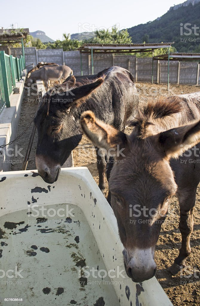 Donkeys on feeding donkey  a farm. Crimea stock photo