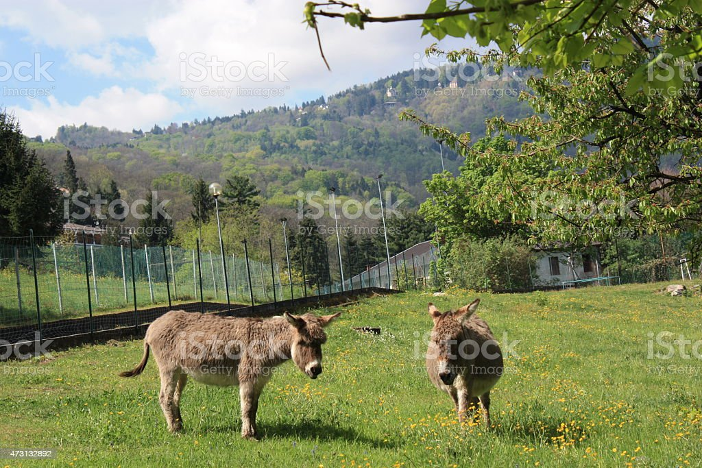Donkeys on the meadow in spring, Italy stock photo