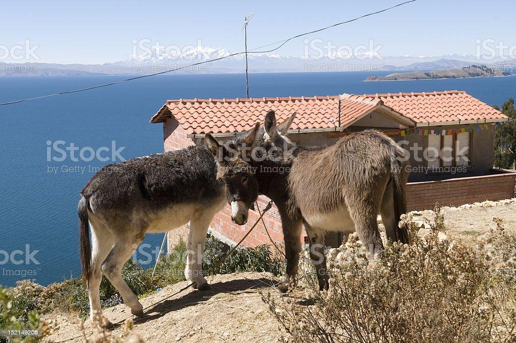 Des ânes sur le soleil de l'île, le Lac titicaca photo libre de droits