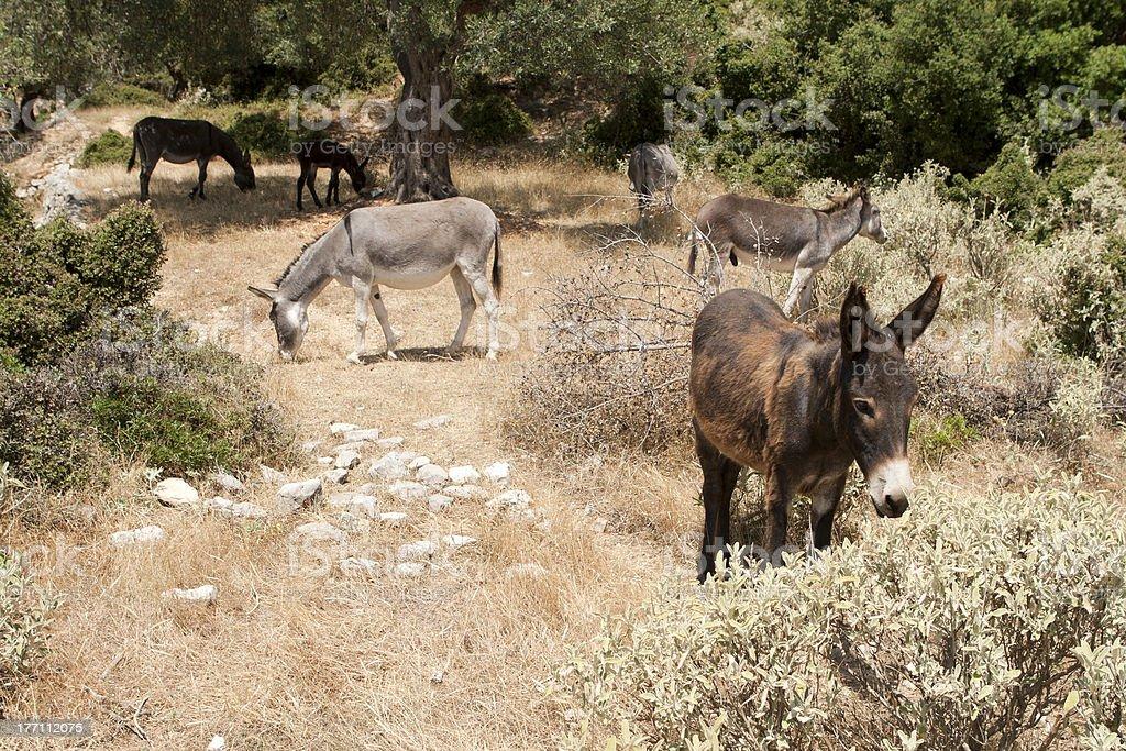 Donkeys. royalty-free stock photo