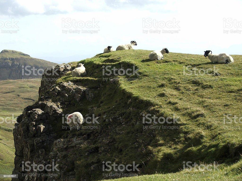 Don't Jump Sheep stock photo