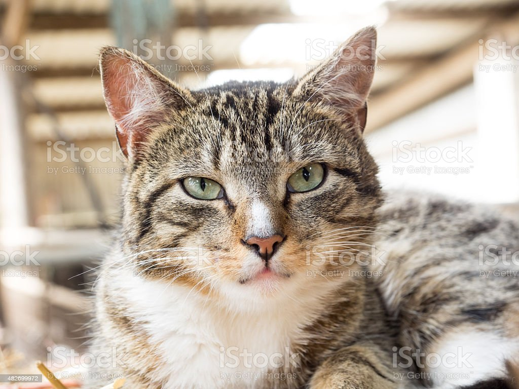 'Don't mess with me' cat. stock photo
