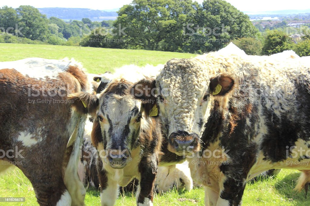 dont mess with the herd stock photo