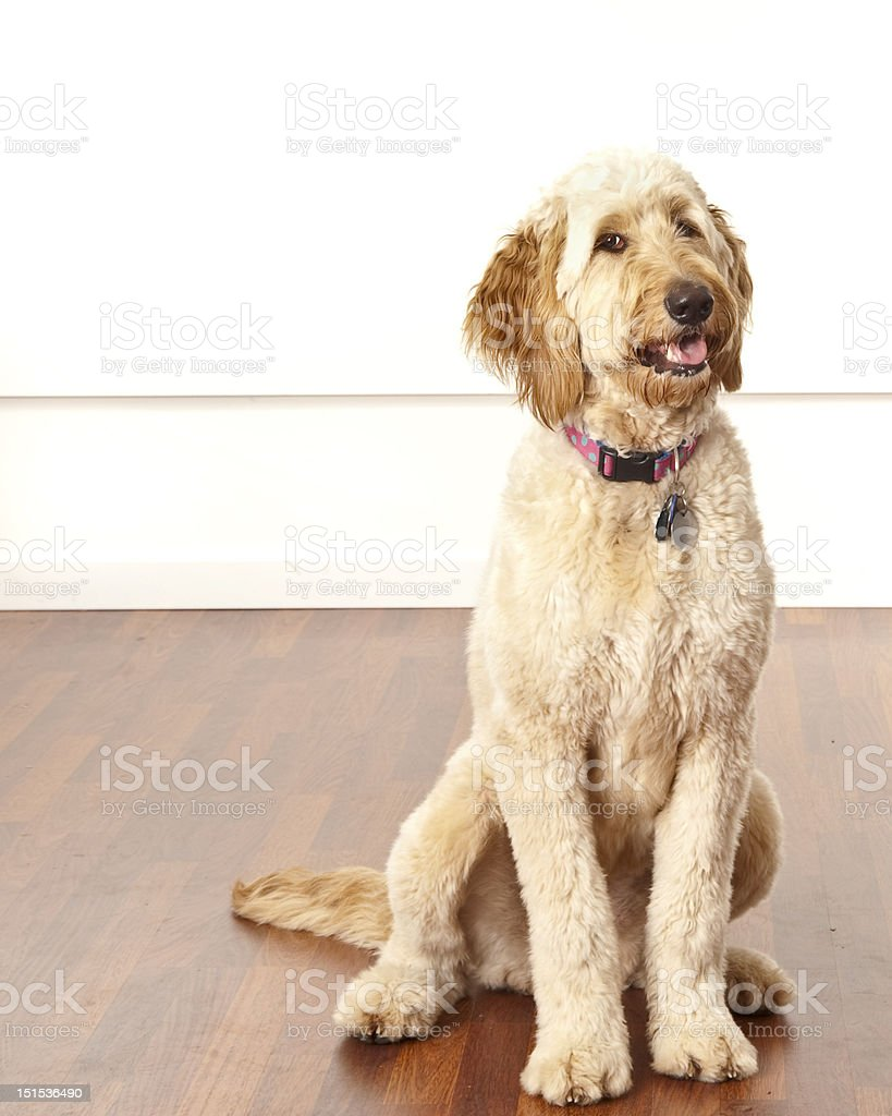 Doodle Dog stock photo