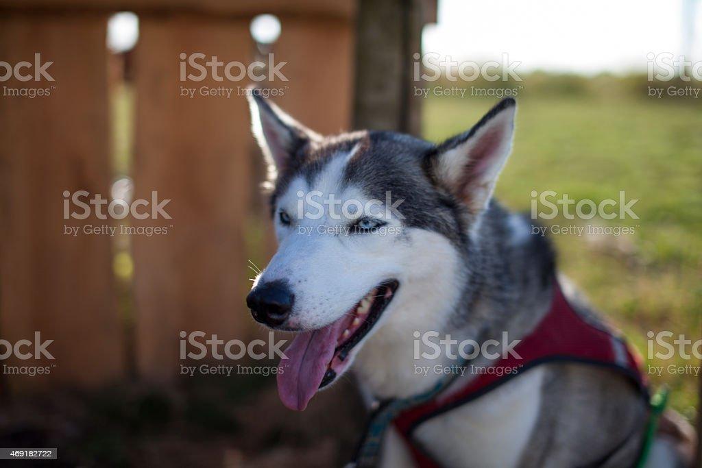 Dopey guardando husky grigio e bianco foto stock royalty-free