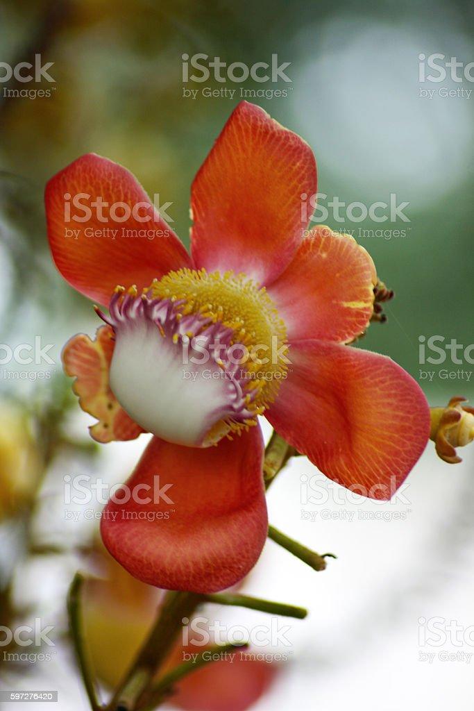 Doptaptim flower stock photo