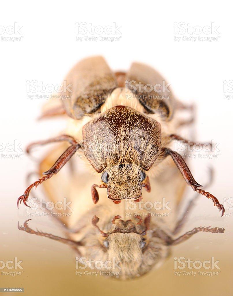 dor-beetle stock photo
