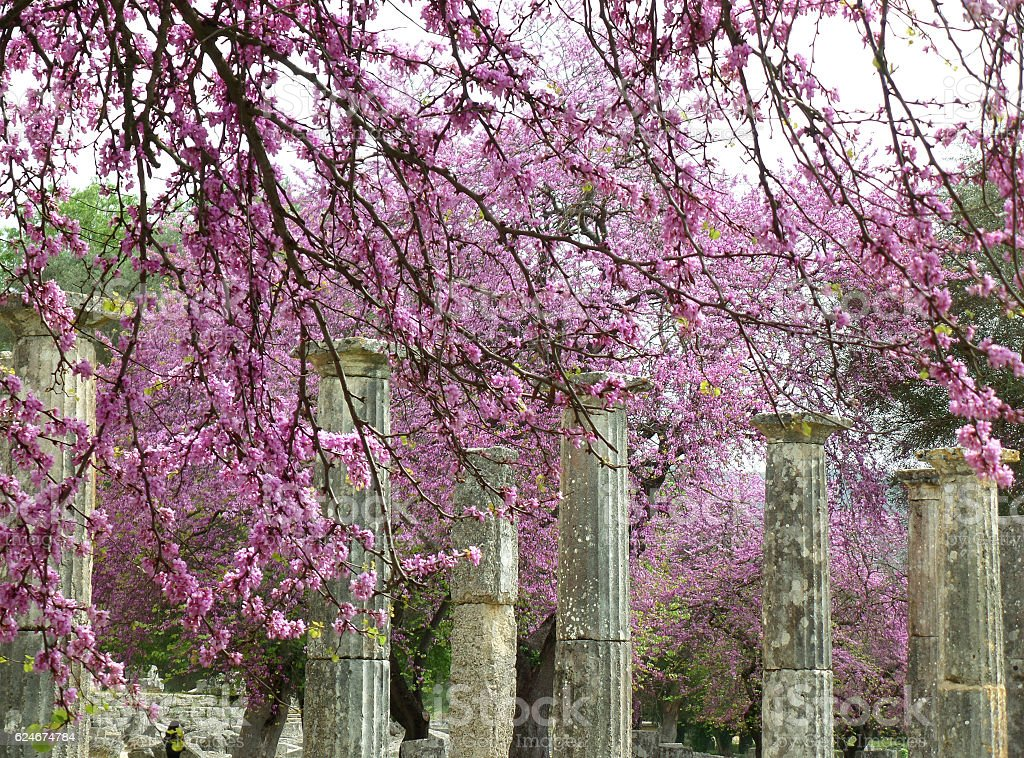 Doric Columns Amongst Beautiful Pink Flowers at Olympia Archaeological Site stock photo