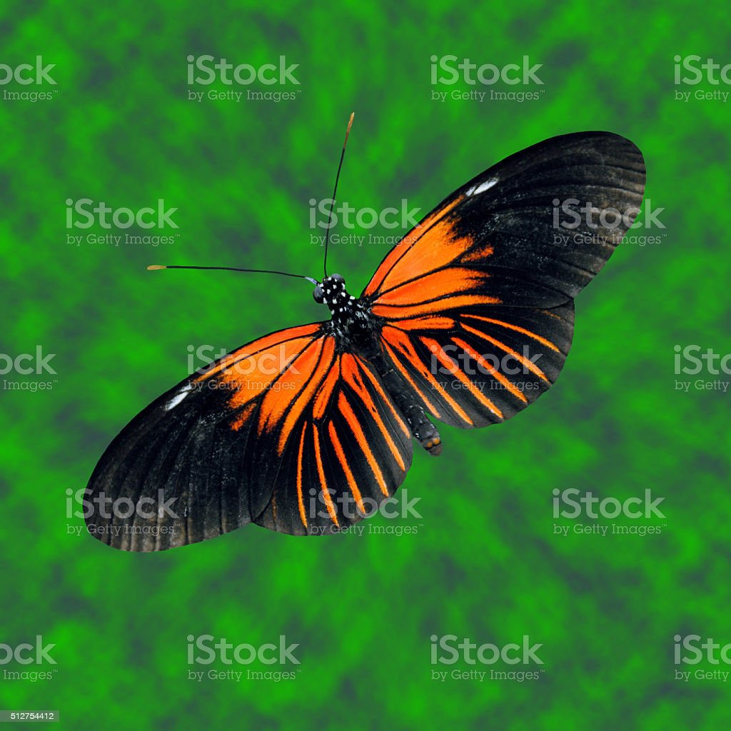 Doris Longwing Butterfly Latin name Heliconius Doris stock photo