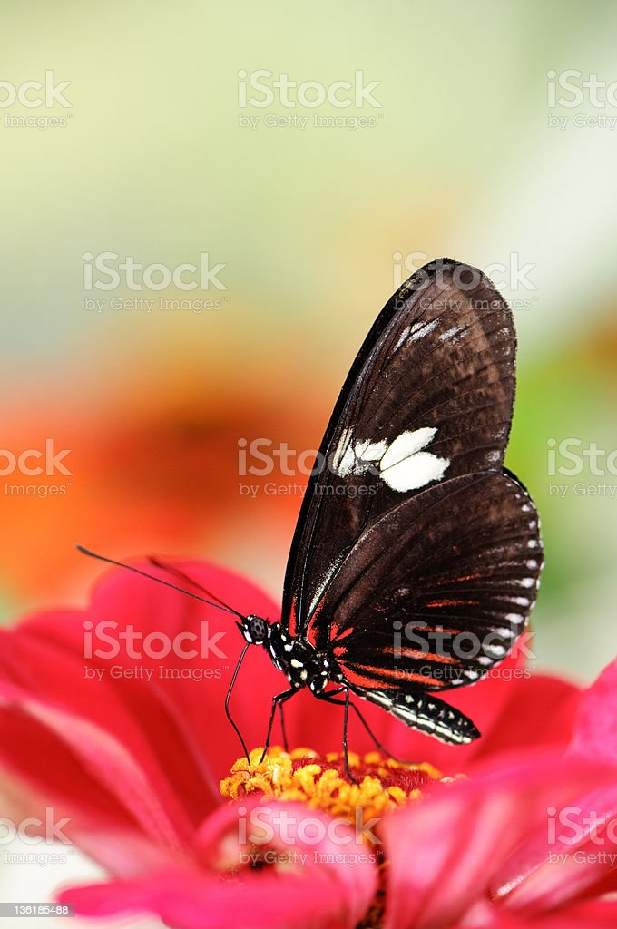 Doris Longwing butterfly  (Heliconius doris) stock photo