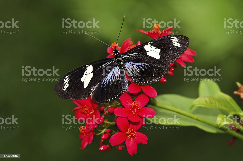 Doris Longwing butterfly royalty-free stock photo