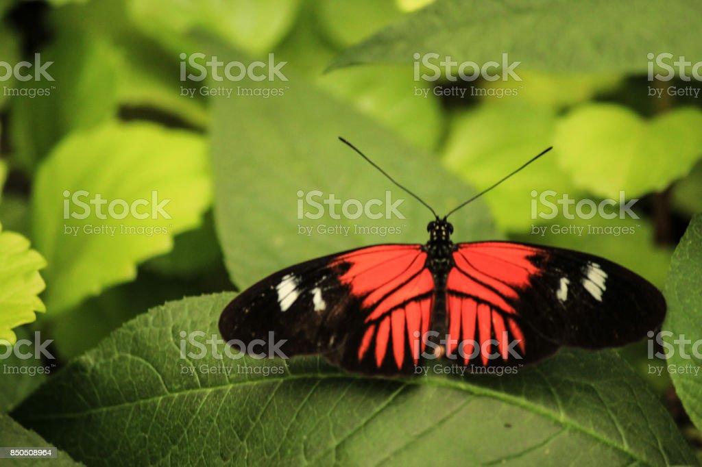 Doris Longwing butterfly stock photo