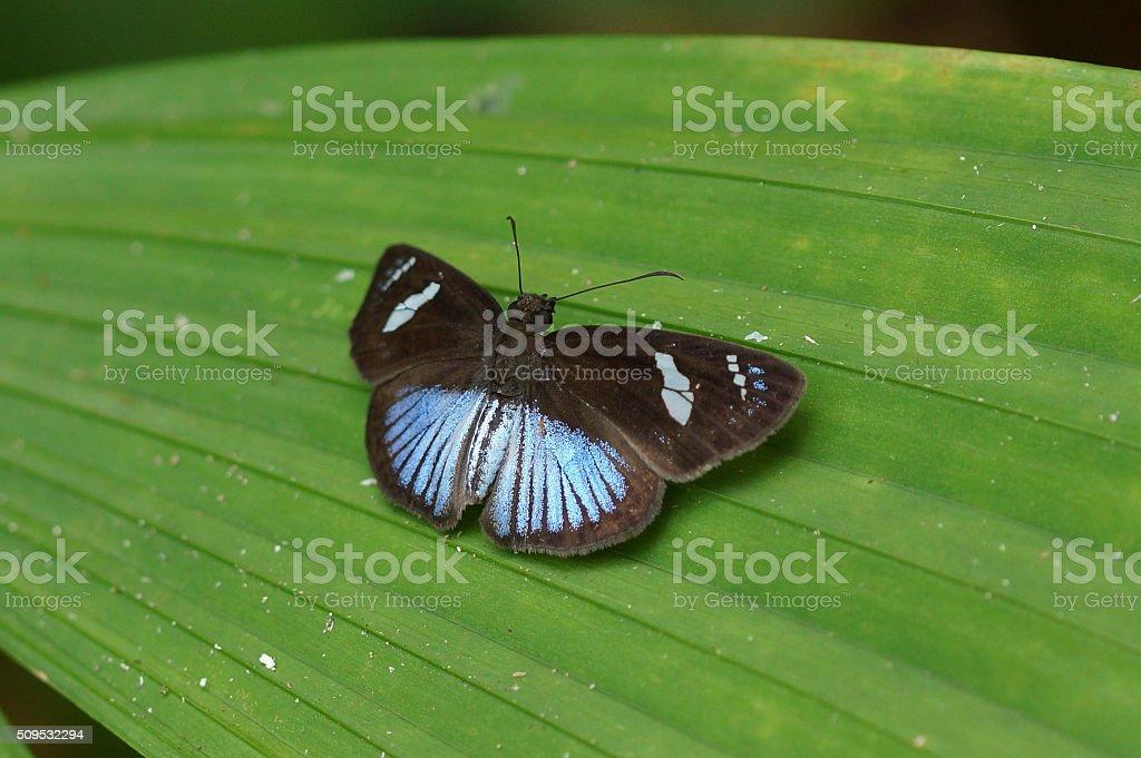 Doris longwing stock photo