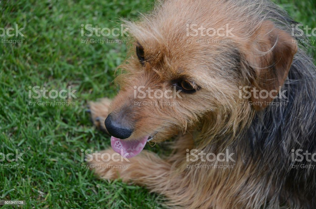 Dorkie Resting on the Grass royalty-free stock photo