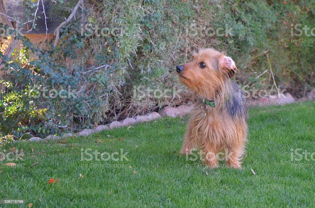 Dorkie Standing on Grass Looking Intently at a Bush royalty-free stock photo