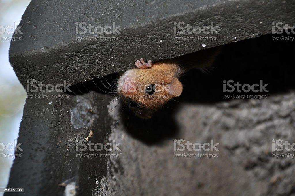 Dormouse in Batbox stock photo