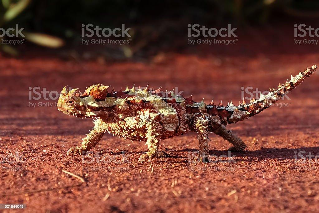 Dornteufel im Outback Australiens stock photo