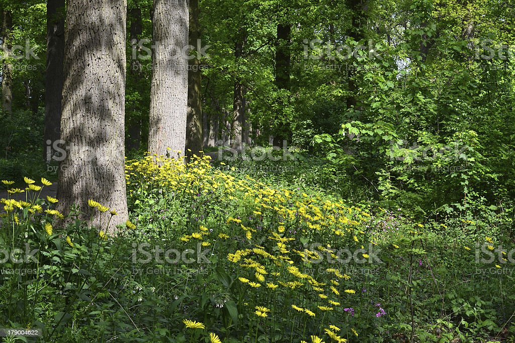 Doronicum pardalianches in the forest. royalty-free stock photo