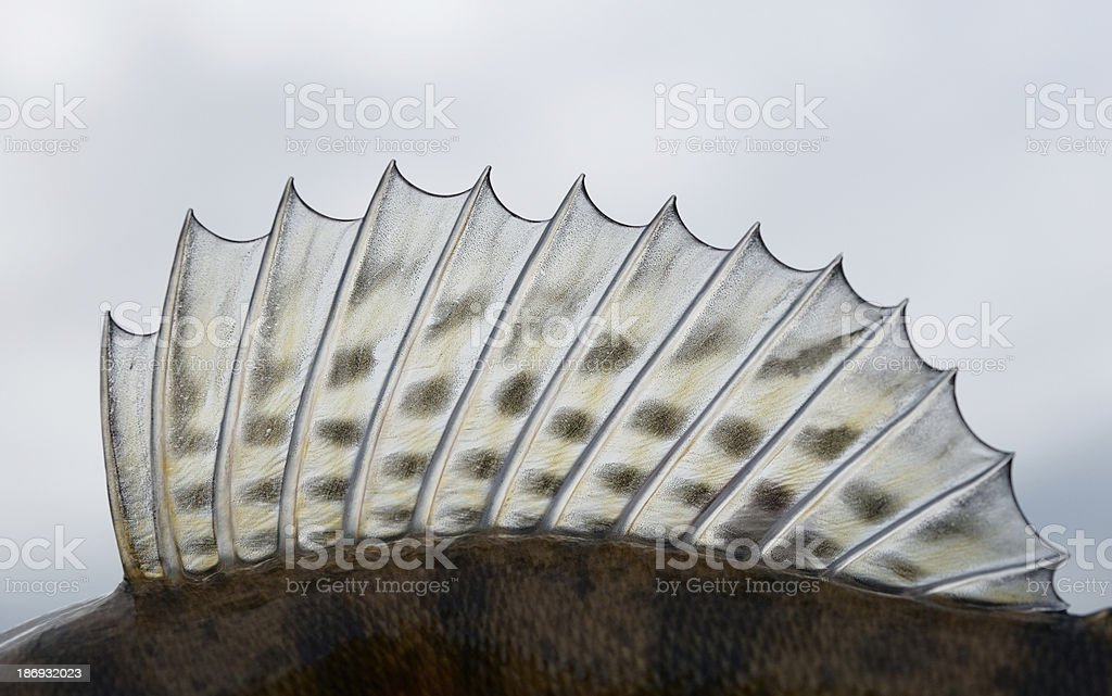 Dorsal fin of a walleye (pike-perch) royalty-free stock photo