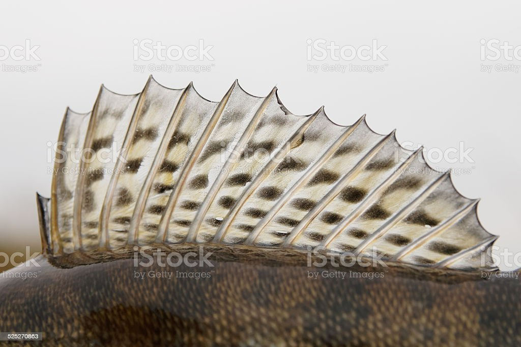 Dorsal fin of a walleye (pike-perch) stock photo
