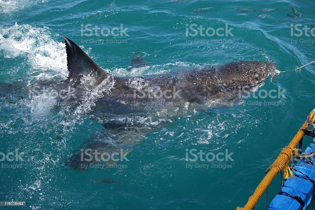 Dorsal Fin Of Great White Shark royalty-free stock photo