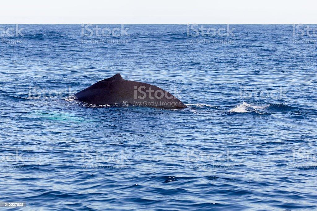 Dorsal Finn of a Whale stock photo