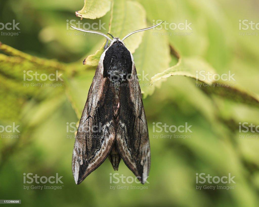 Dorsal image Privet Hawk Moth stock photo
