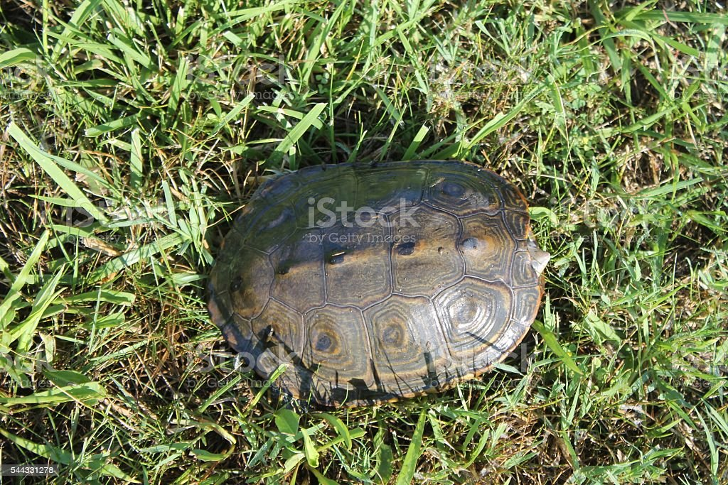 Dorsal view of terrapin stock photo