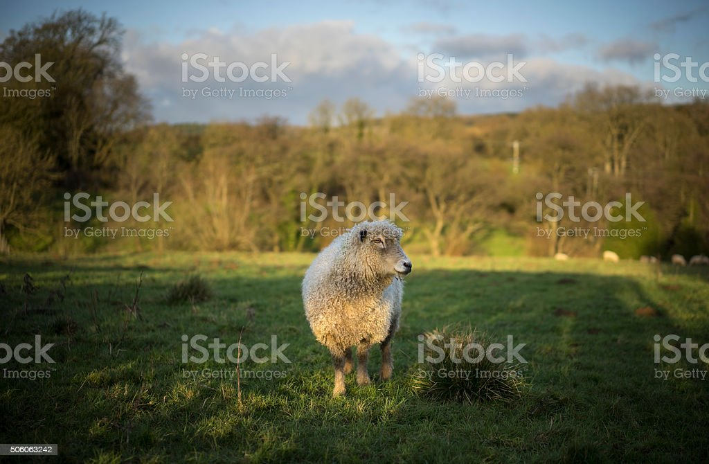 Dorset Sheep, UK stock photo