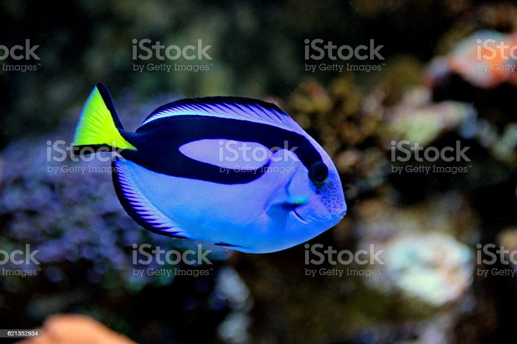 Dory for the world, Blue Hipo Tang for Aquarists stock photo