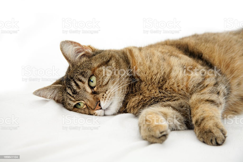 Dosmestic sick cat lying on white bed stock photo