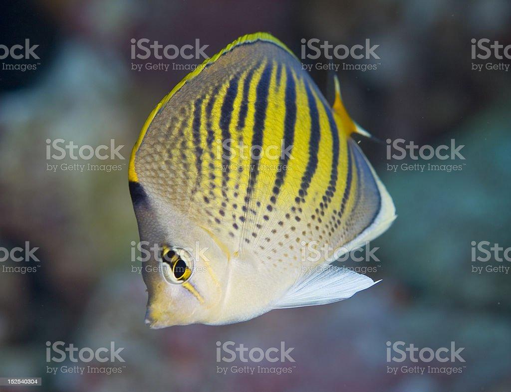 Dot & Dash Butterflyfish royalty-free stock photo